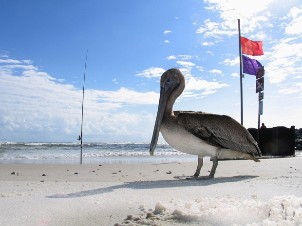 young pelican at West Beach Pass